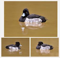 Photo: 撮影者:村山和夫 キンクロハジロ タイトル:キンクロハジロ現る 観察年月日:2014年11月20日 羽数:1羽 場所:片倉の集いの森公園/調整池 区分:行動 メッシュ:八王子6G コメント:この池で見るのは初めてです。海鴨が内陸部の池に来るのは珍しい。昨年の同時期にも近くの湯殿川に海鴨のホオジロガモが来ました。先住者の淡水鴨のカルガモは対応が分からず?一定の距離をとって興味深けに見ていました。