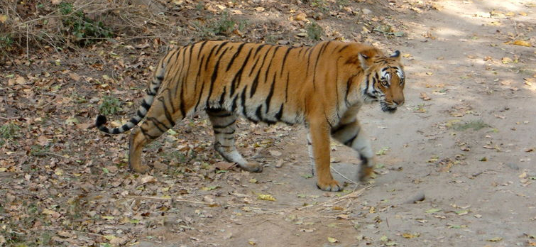 Jim Corbett National Park (Best Adventurous Place for Tiger Safari in India)