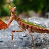 Indian Flower Mantis aka mantis