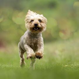 yoyo by Zoltán Túri - Animals - Dogs Running