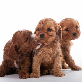 Puppy Love by Melanie Ayers Wells-Photography - Animals - Dogs Portraits ( love, puppies, white, cocker spaniels, brown, melanie wells photography )