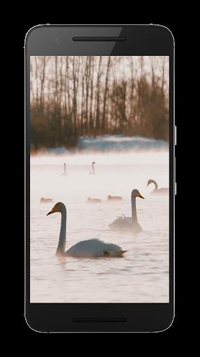 白鳥ビデオLWP