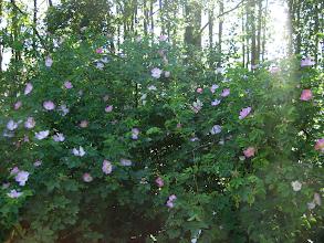 Photo: Rosa inodora. Almön, Tjörn.