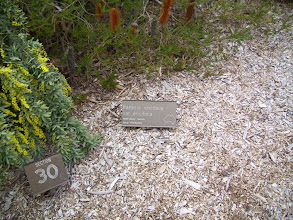 Photo: Banksia ericifolia plaque