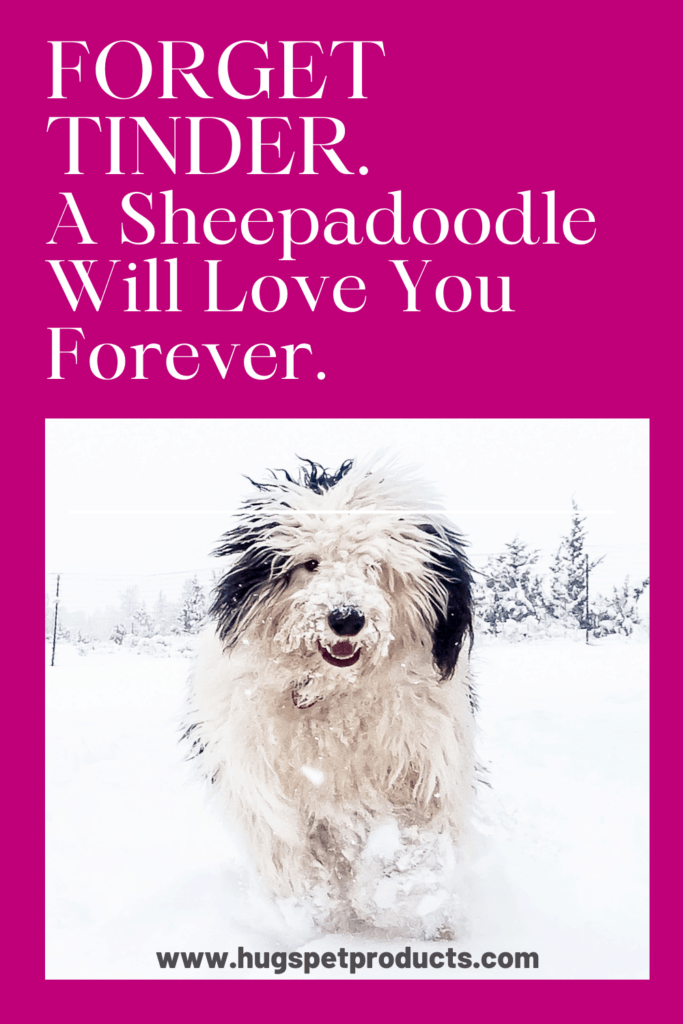 A Sheepadoodle will love you forever