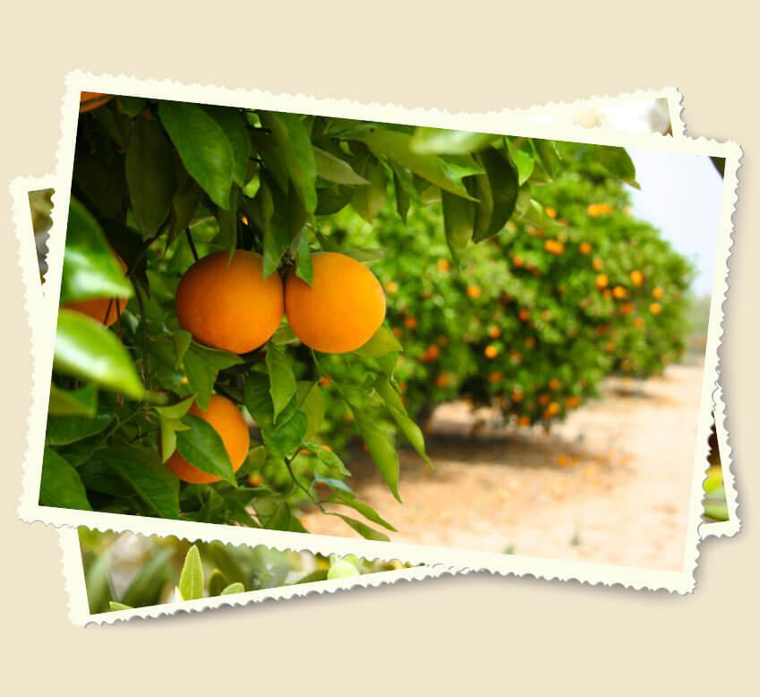 Orangenbaum auf Sizilien
