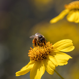 Enjoying the day by Dustin Wilcox - Novices Only Flowers & Plants ( pollen, bee, honeybee, bokeh, flower, honey )