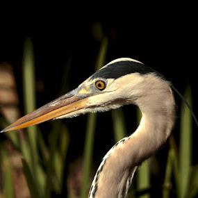 Focussed by Christo W. Meyer - Novices Only Wildlife ( fishing, focussed, heron )