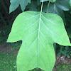 Tulip Poplar/Tulip Tree