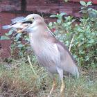 Indian Pond Heron with prey
