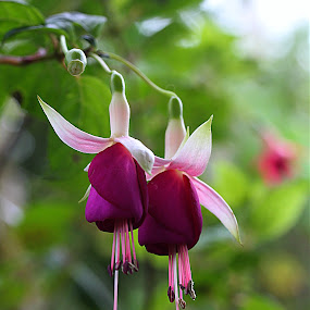Together Again by Carmen Quesada - Flowers Flower Gardens ( purple, fuchsia, pink, natural, flower,  )
