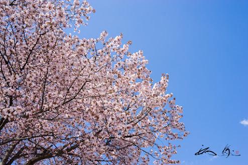 優美なる桜に大いなる感謝をこめて。。。