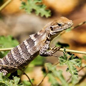 Tree lizard by Scott Thomas - Animals Reptiles ( nature, outside, tree lizard, tree, lizard,  )