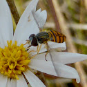 Syrphid Fly ♀
