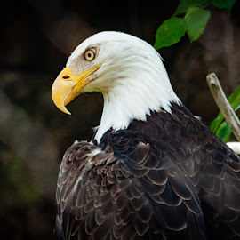 Memphis Zoo by Mary Phelps - Animals Birds ( memphis, eagle, bald eagle, zoo,  )
