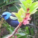 Blue-hooded Tanager