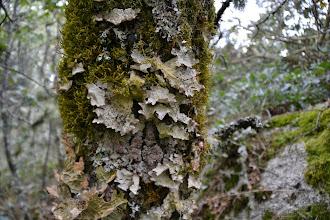 Photo: Lobaria scrobiculata, Degelia plumbea