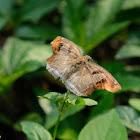Odontoptilum angulata 角翅弄蝶