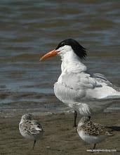 Photo: Royal Tern and Sanderlings, Bolivar Flats Shorebird Sanctuary, upper Texas Coast