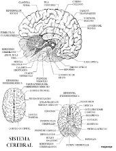 Photo: cuerpo humano el cerebro