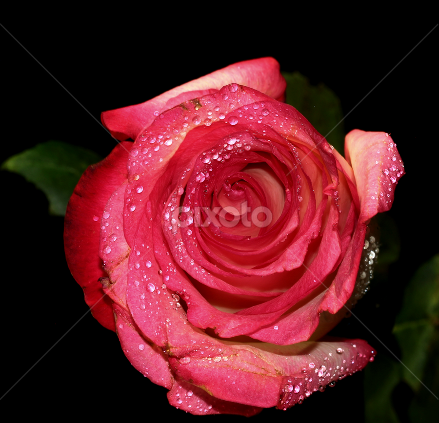 by Dipali S - Nature Up Close Flowers - 2011-2013 ( water, rose, nature, drops, flower, rosacea,  )