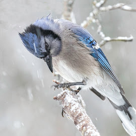 Jay in Snow Storm by Kathy Jean - Animals Birds ( bird, snowstorm, avian, bluejay, animal,  )