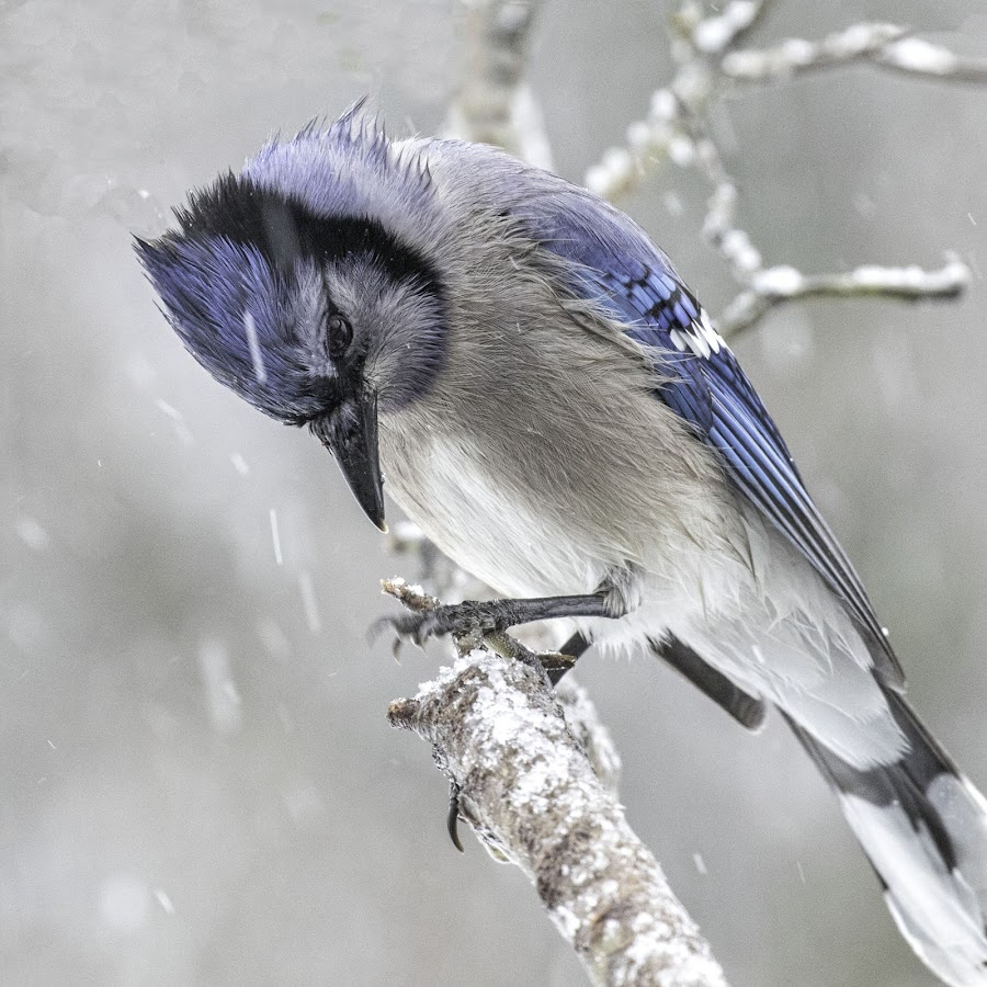 Jay in Snow Storm by Kathy Jean - Animals Birds ( bird, snowstorm, avian, bluejay, animal )