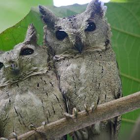 Starred At by Nirupam Roy - Animals Birds ( wild, owl, birds, photography, eyes )