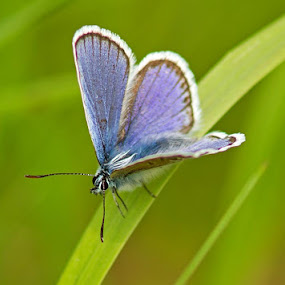 Male Silver Studded Blue by Louise Morris - Animals Insects & Spiders