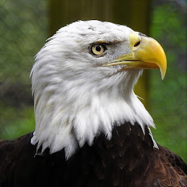 Portrait of a bald eagle by Mary Gallo - Animals Birds ( macro, nature, bird, eagle, nature up close, bald eagle, portrait, nature photography,  )