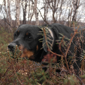 Sniffin´ around by Ricky Friskilæ - Animals - Dogs Portraits ( nature, dobermann, forest, springtime, rottweiler )