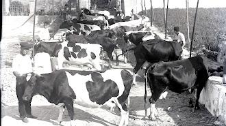 Cortijo de José Guirado donde llegaron a convivir varias docenas de vacas lecheras hasta los años 50.