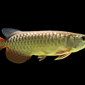by Jordan Toh - Animals Fish