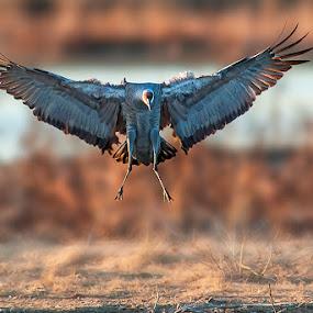 Landing by Qing Zhu - Animals Birds ( bird, migration, habitat, flying, wing, single, wingspan, one, crane, sandhill, feather, migrator, animal )