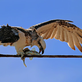 Osprey having lunch by Simon  Rees - Animals Birds