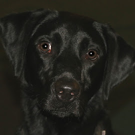 Black Lab Pup by Chrissie Barrow - Animals - Dogs Portraits ( labrador, black, portrait, dog, pet )