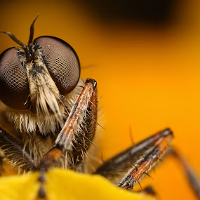 robberfly by Scott Thompson - Animals Insects & Spiders ( canon, macro, fly, insect )