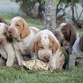 Puppies by Ralph MInnitte - Animals - Dogs Puppies