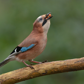 Hungry Jay  by Keith Bannister - Animals Birds ( jays, park, nature, wildlife, birds )