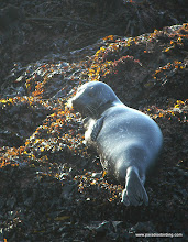 Photo: Northern fur seal on the rocks at Pt Lobos State Reserve, Monterey County.