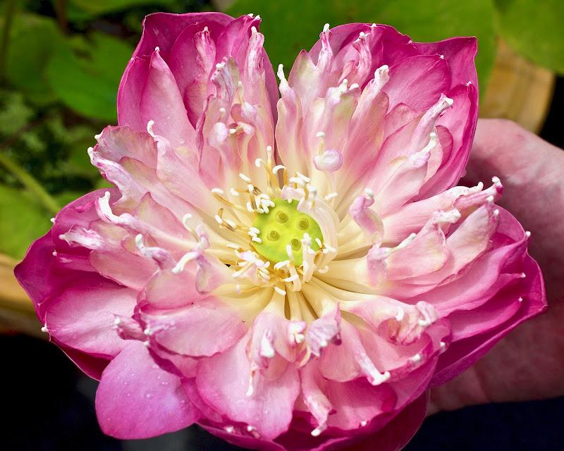 Lotus. di mintlau_