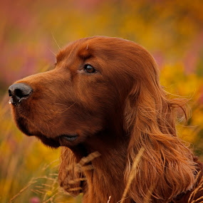 Keep your eye's on the horizon and your nose to the wind. by Ken Jarvis - Animals - Dogs Portraits ( irish setter, dog portrait, irish, dog )