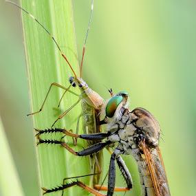 by Eko Probo D Warpani - Animals Insects & Spiders ( macro, nikkor, nikon,  )