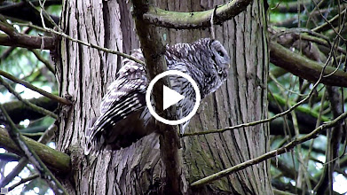 Video: Female Barred Owl calling to her mate.