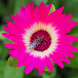 Basking in Summer Glory by Gillian James - Flowers Single Flower ( mesembryanthemum, insect, hoverfly, hot pink, flower )
