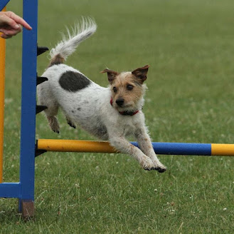 a jack russell mixed breed jumping over a bowl