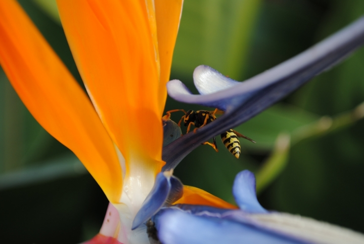 L'ape regina di ojala