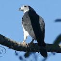 Gavião-de-cabeça-cinza (Gray-headed Kite)