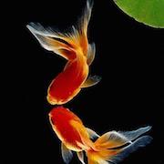 К чему снится золотая рыбка в аквариуме?