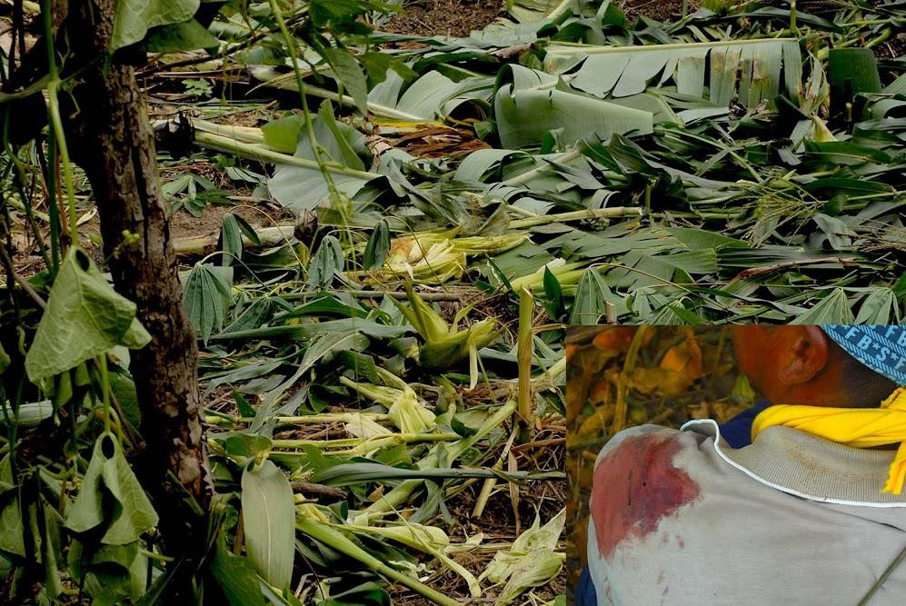 Destrucción de las semillas germinadas, regadas con sangre y sudor del Pueblo Nasa
